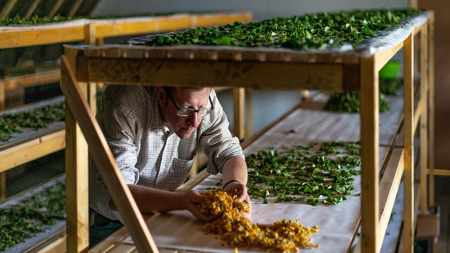 man inspects botanicals drying on wooden racks