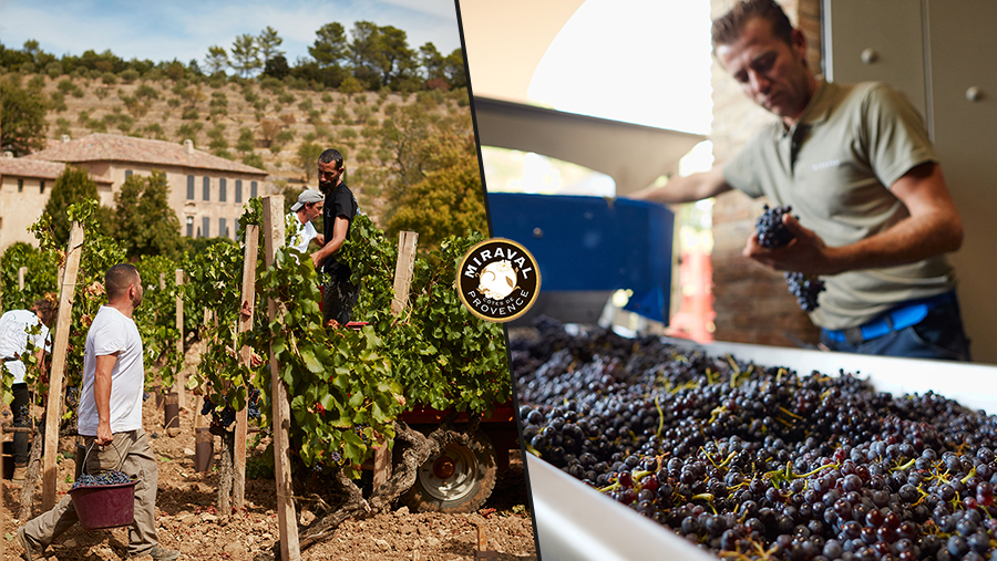 Left: men harvesting grapes in a vineyard. Right: middle aged man inspects red grapes as they move along a conveyor.