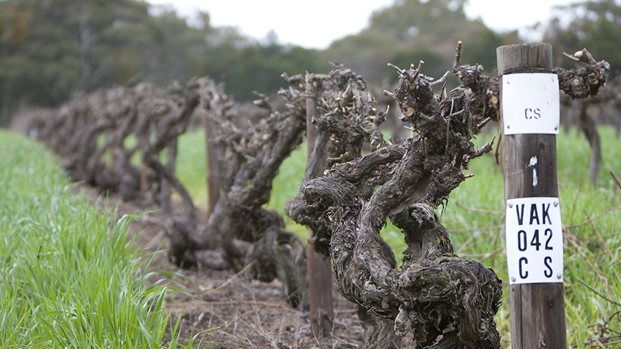grape vines protrude out from the ground at Penfold's historic Block 42 vineyard row
